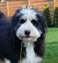 Tips For Finding a Bernedoodle Breeder in Tennessee
