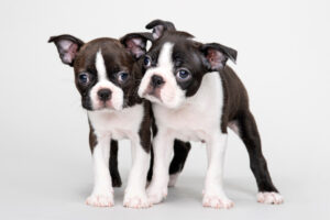 Why a Right Boston Terrier Breeder in New Jersey Makes All the Difference