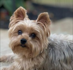 Yorkie Puppies For Sale in Michigan