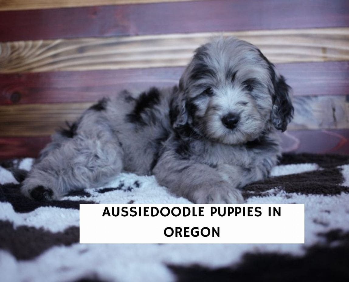Aussiedoodle Puppies in Oregon