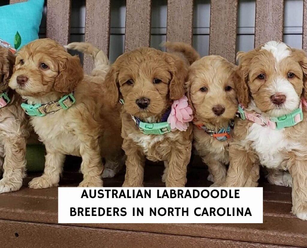 Australian Labradoodle Breeders In North Carolina
