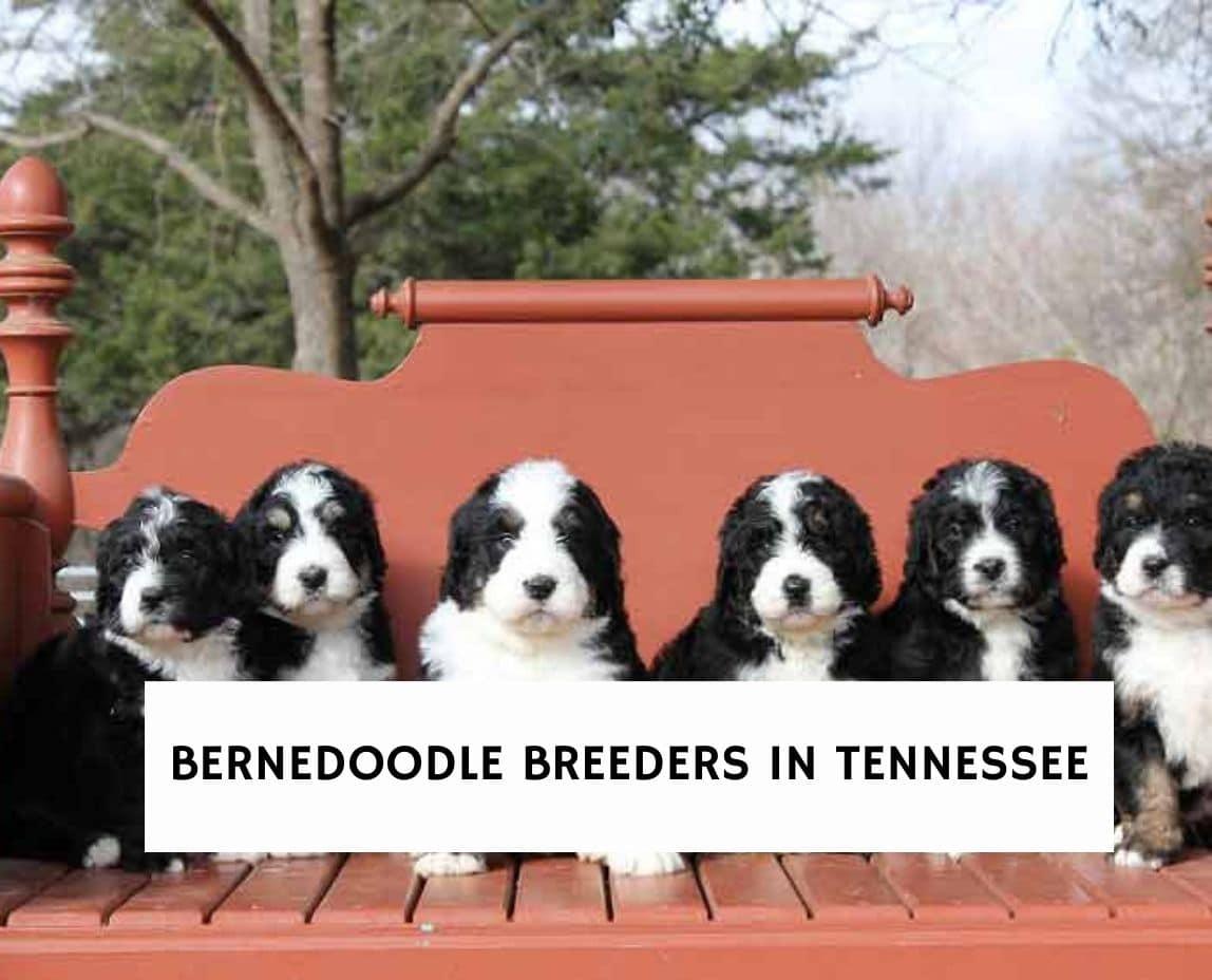 Bernedoodle Breeders in Tennessee