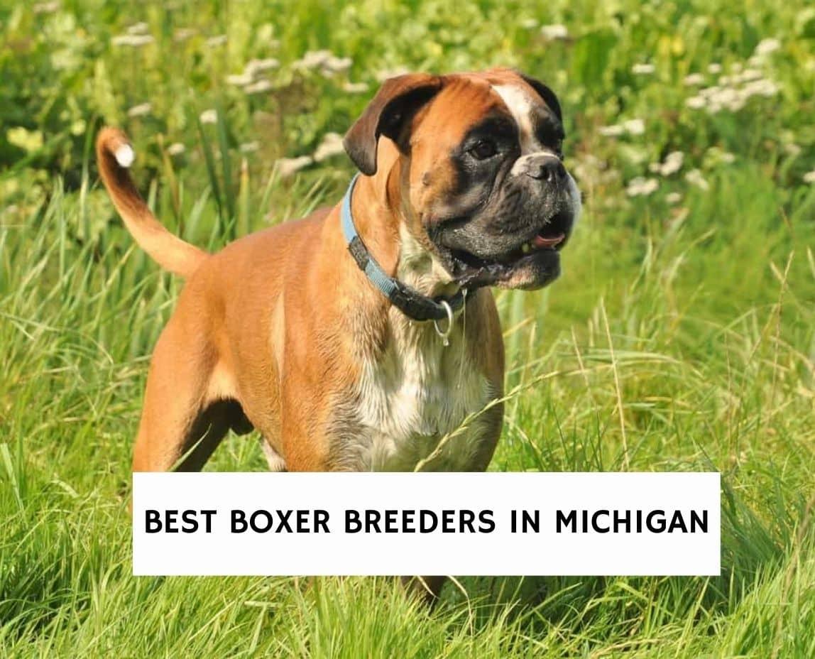 Best Boxer Breeders in Michigan