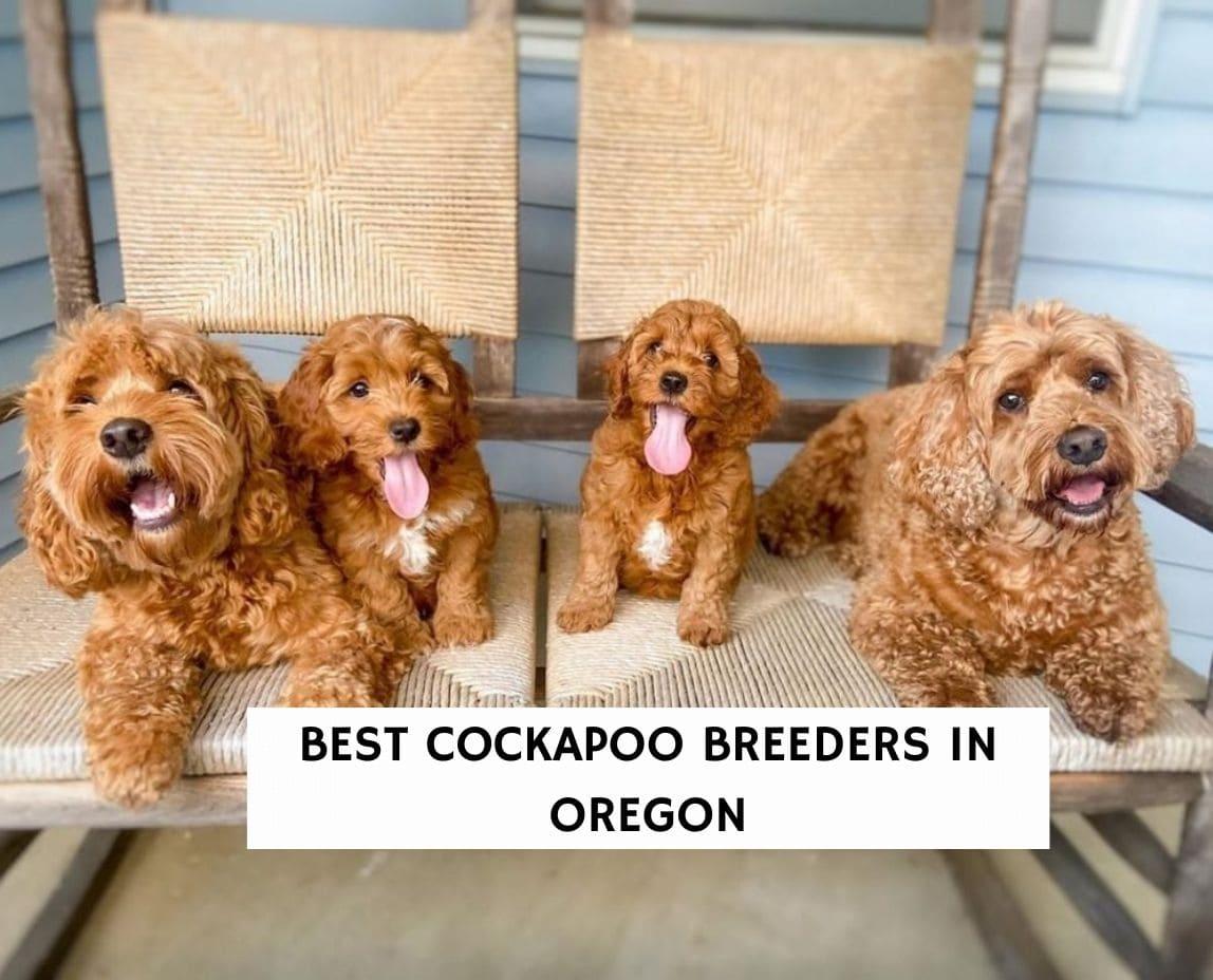 6 Best Cockapoo Breeders in Oregon