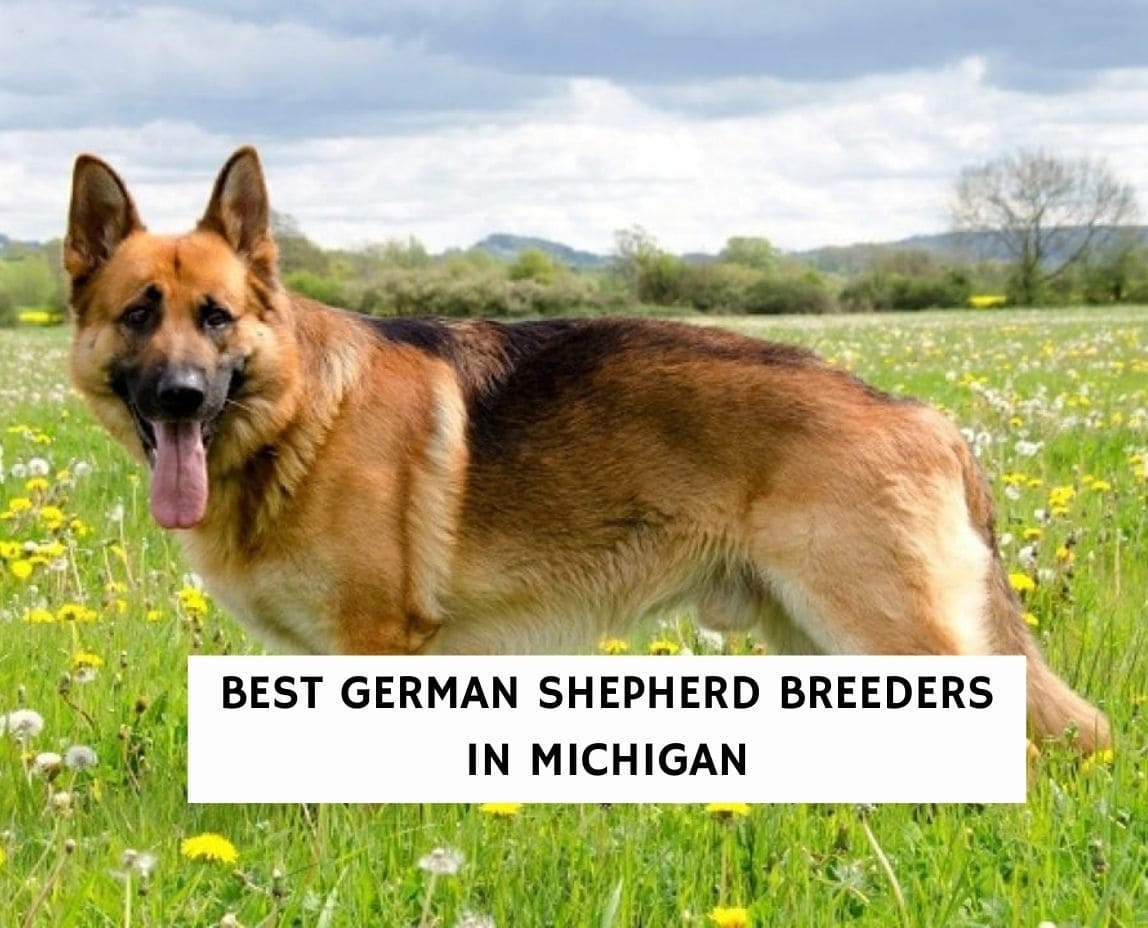 6 Best German Shepherd Breeders in Michigan