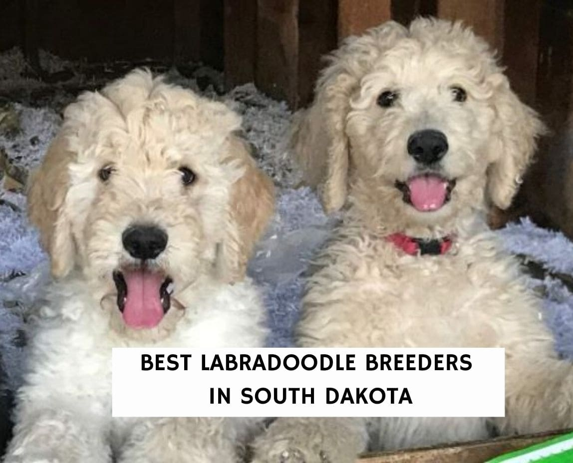 Best Labradoodle Breeders in South Dakota