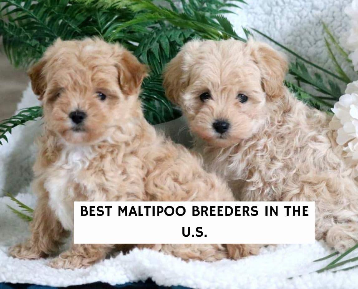 Best Maltipoo Breeders in the U.S.