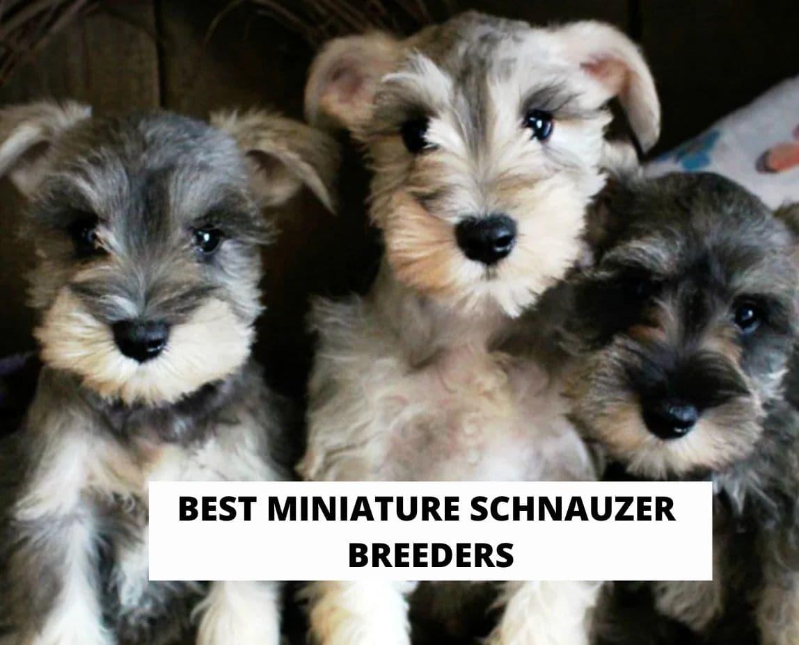 Best Miniature Schnauzer Breeders
