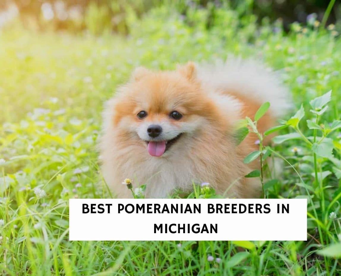 Best Pomeranian Breeders in Michigan