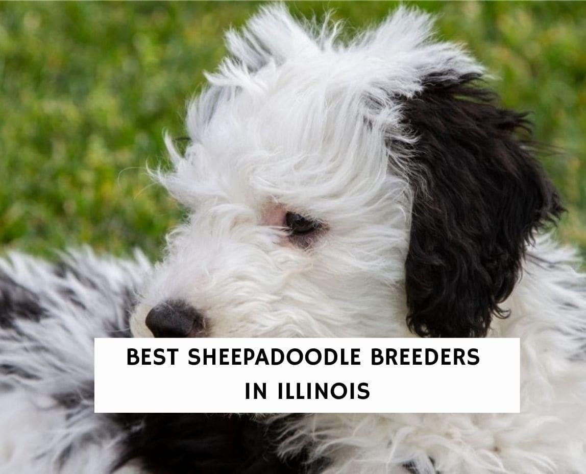 Best Sheepadoodle Breeders In Illinois