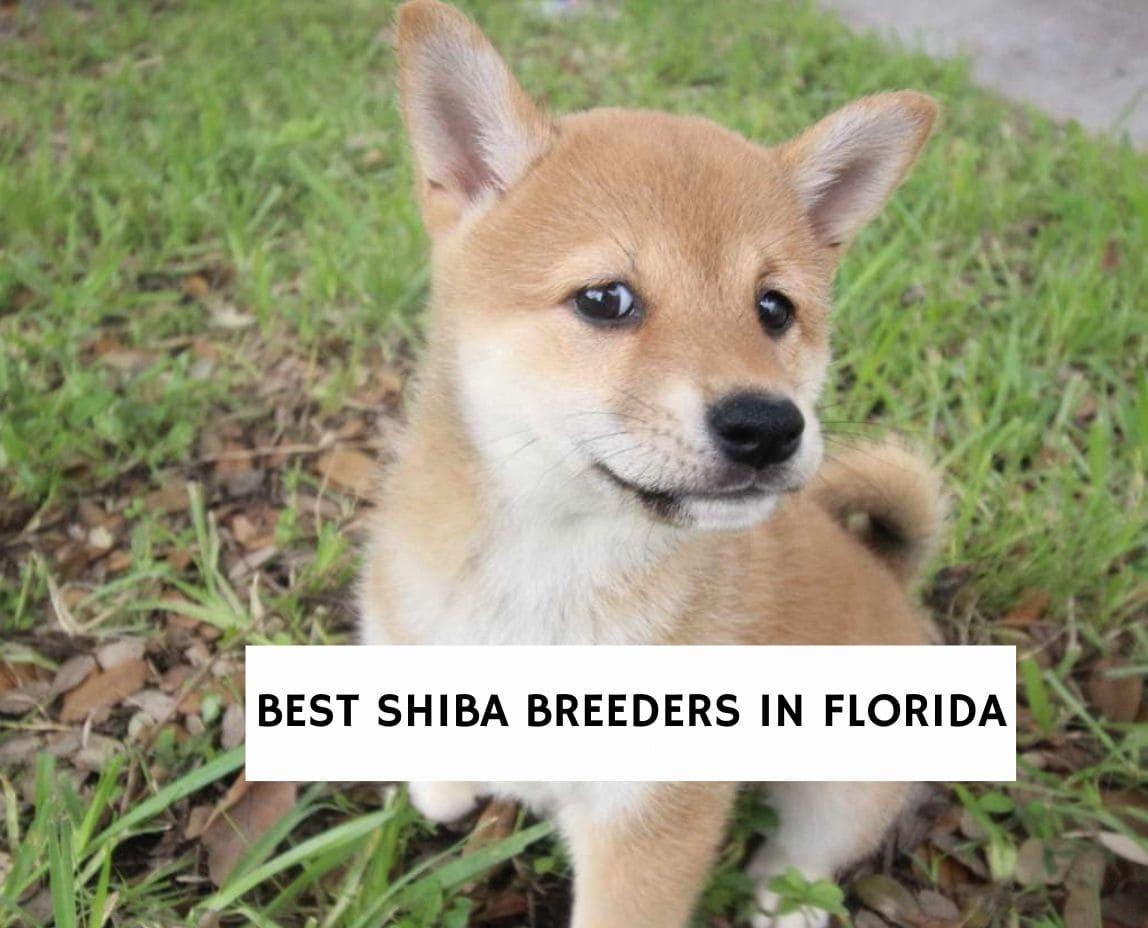 Best Shiba Breeders in Florida