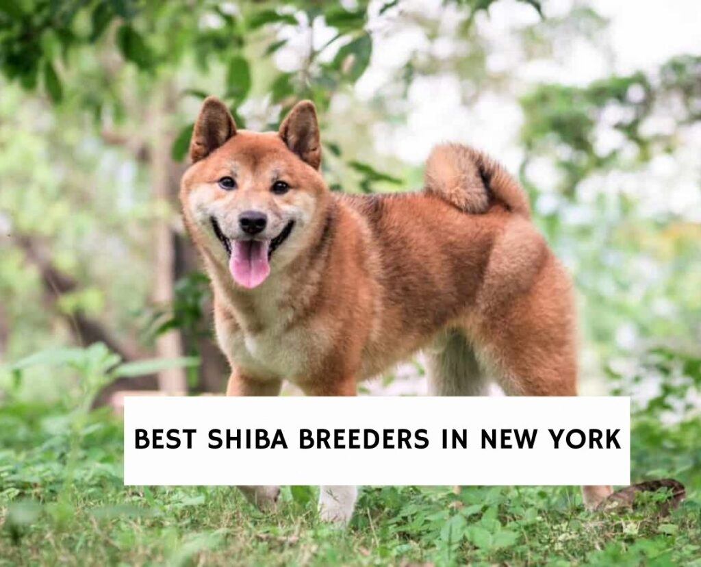 Best Shiba Breeders in New York