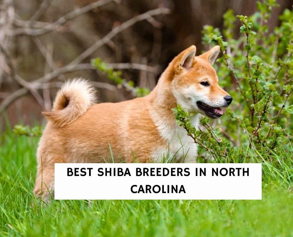 Best Shiba Breeders in North Carolina
