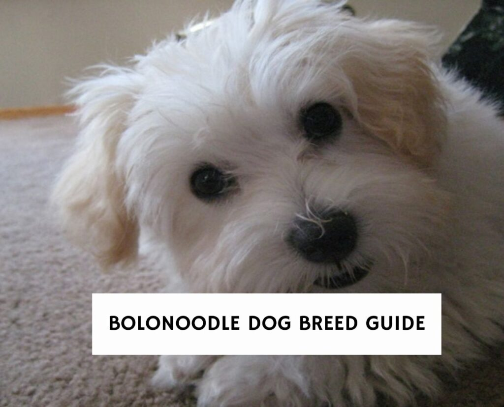 Bolonoodle Dog Breed Guide