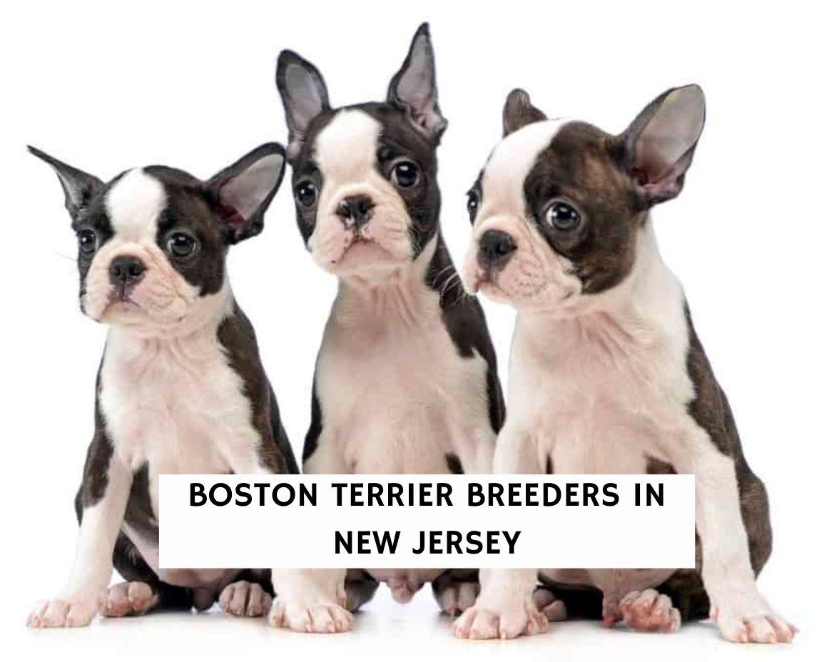Boston Terrier Breeders in New Jersey