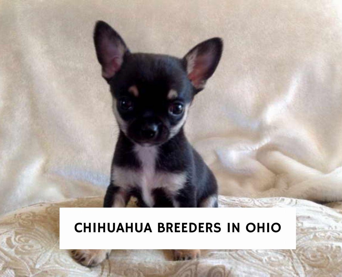Chihuahua Breeders In Ohio