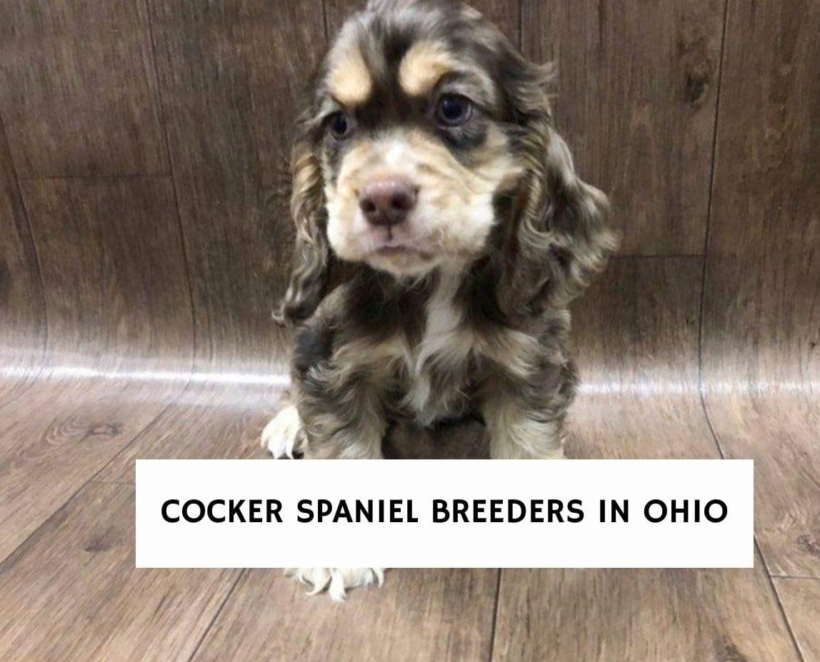 Cocker Spaniel Breeders in Ohio