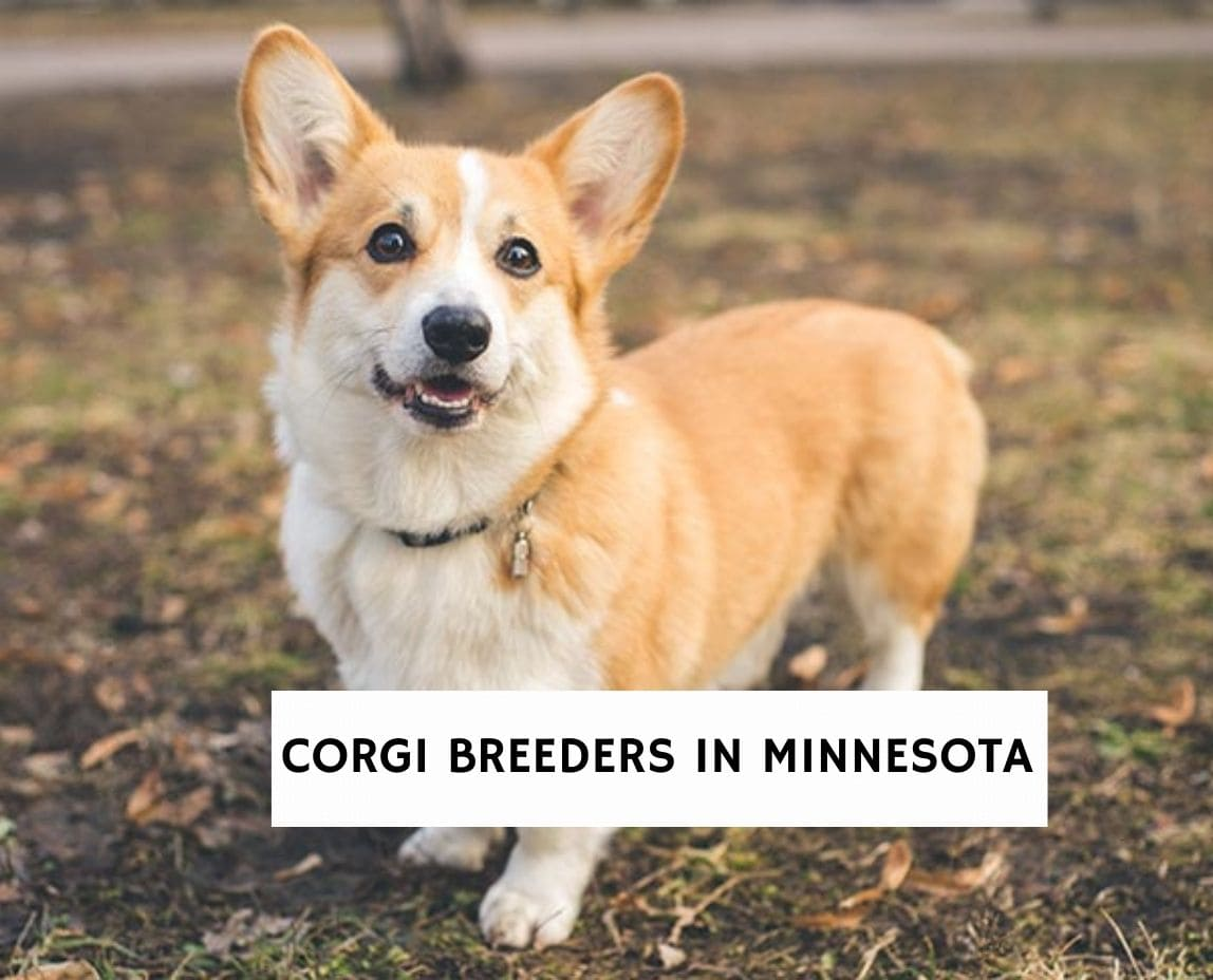 Corgi Breeders in Minnesota