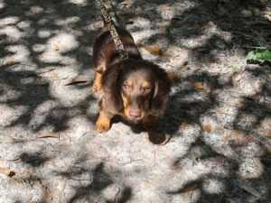 dachshund puppies for sale in new jersey