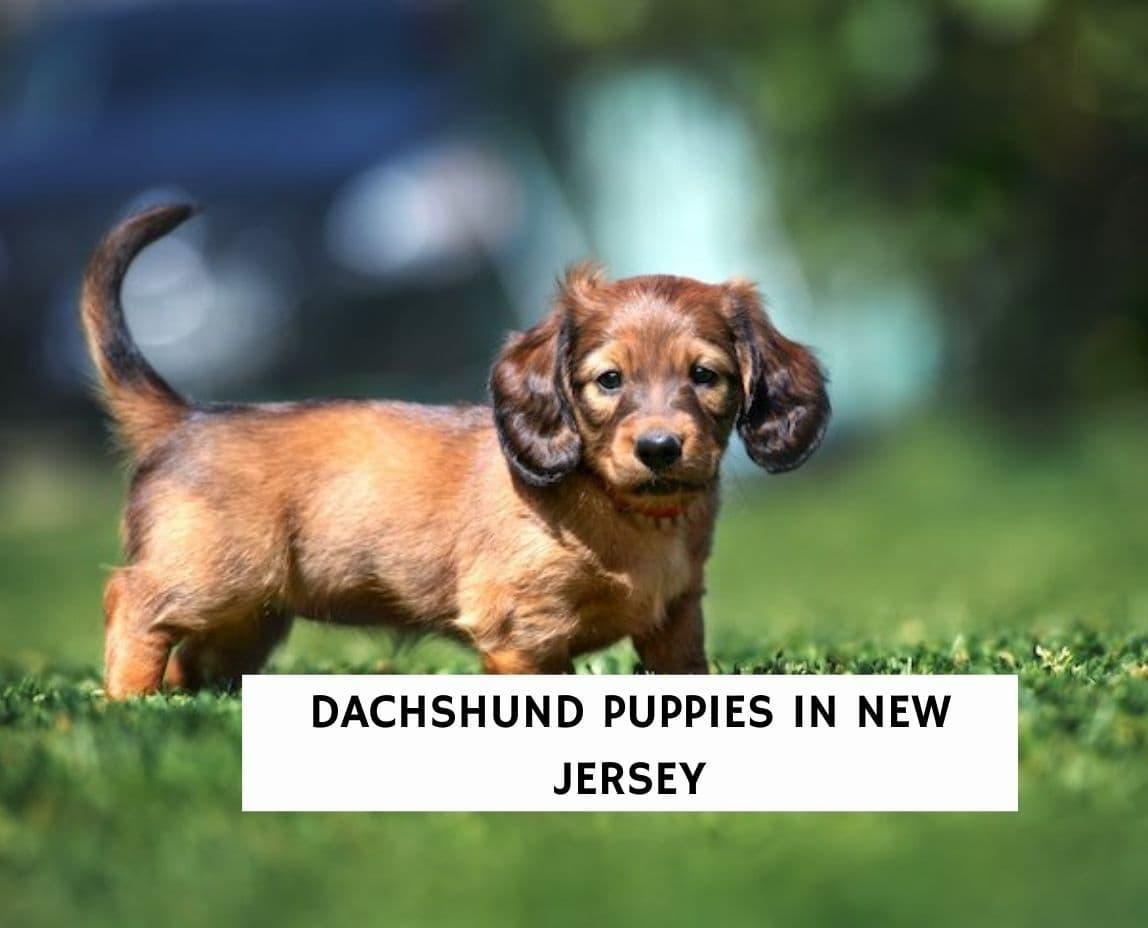Dachshund Puppies in New Jersey