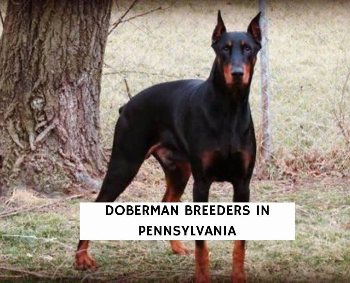 Doberman Breeders in Pennsylvania