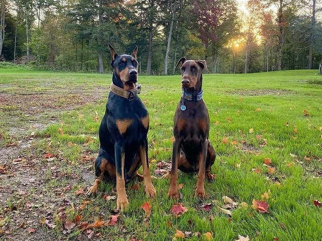 doberman puppies for sale pa