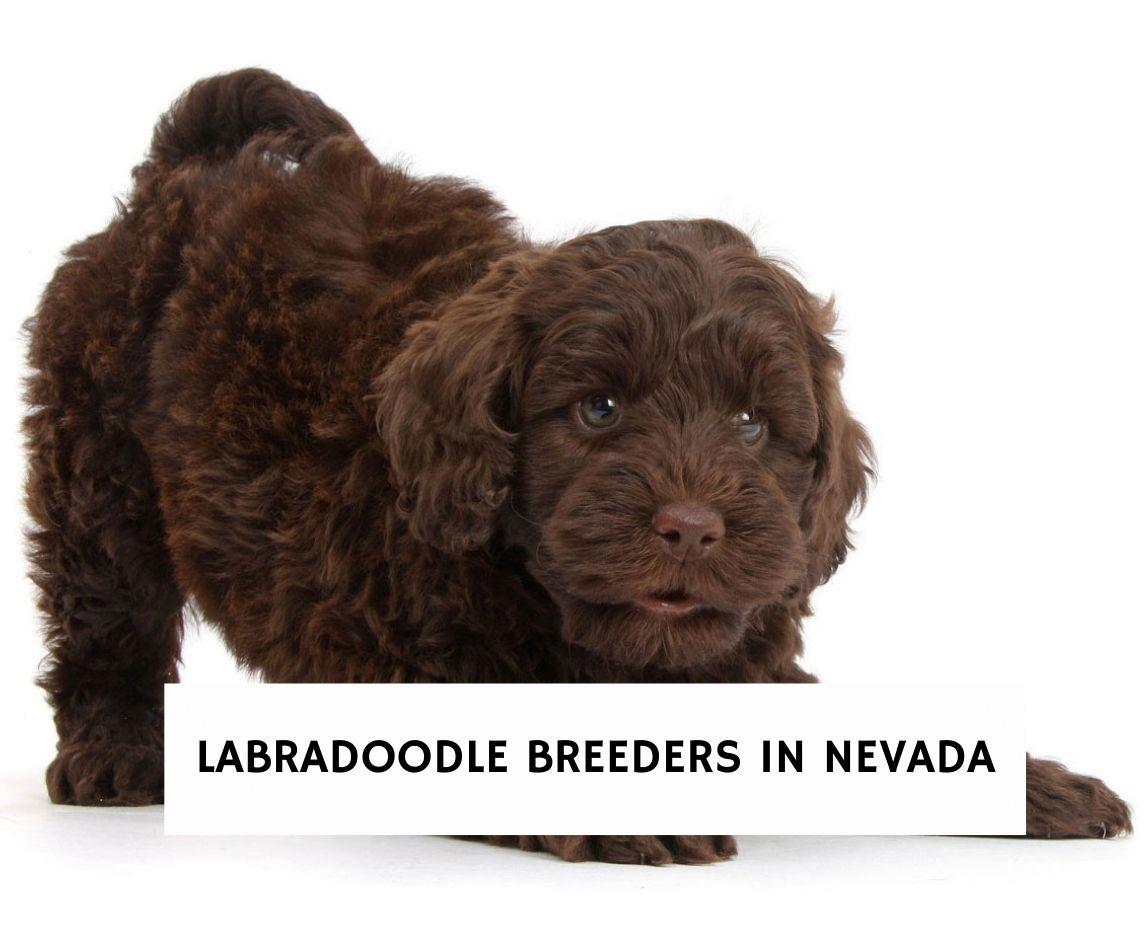 Labradoodle Breeders in Nevada