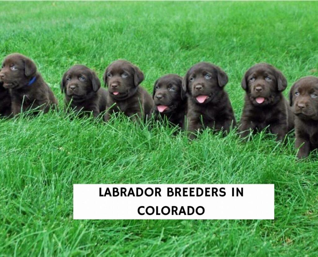 Labrador Breeders in Colorado