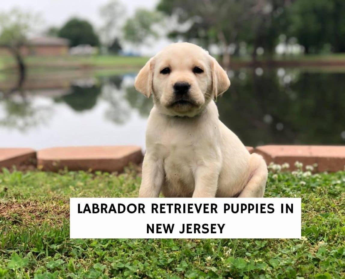 Labrador Retriever Puppies in New Jersey