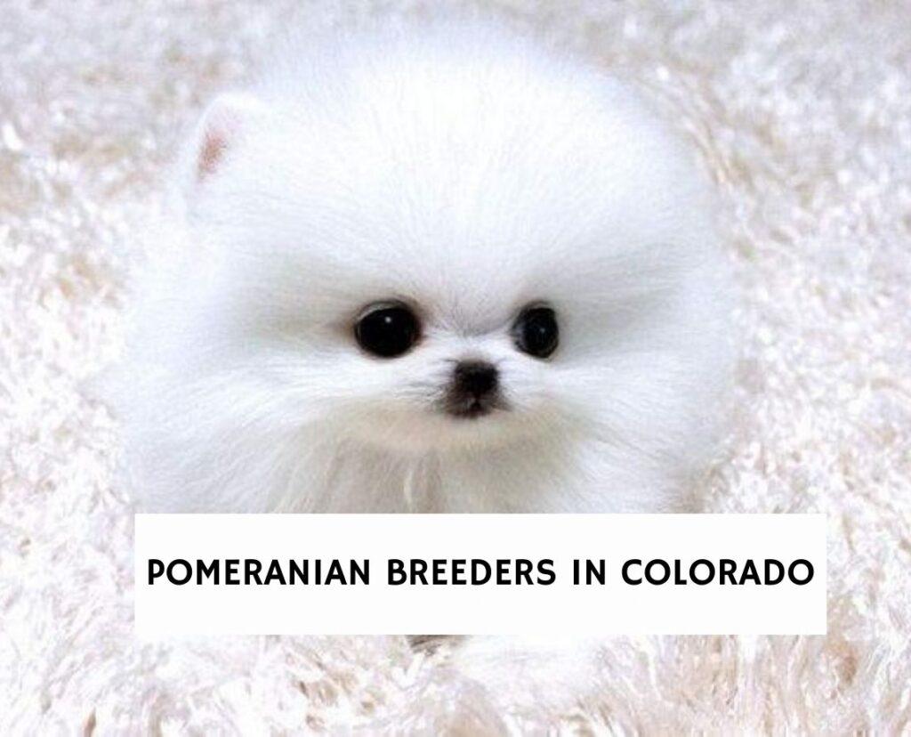 Pomeranian Breeders In Colorado