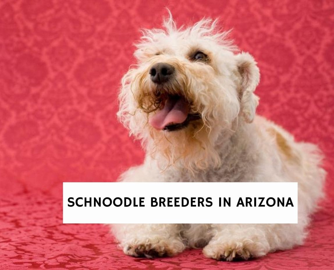 Schnoodle Breeders in Arizona