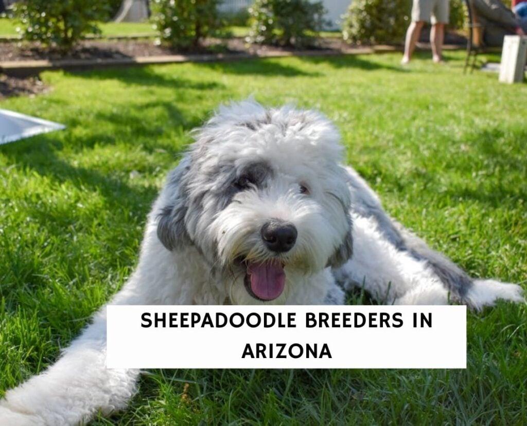 Sheepadoodle Breeders In Arizona