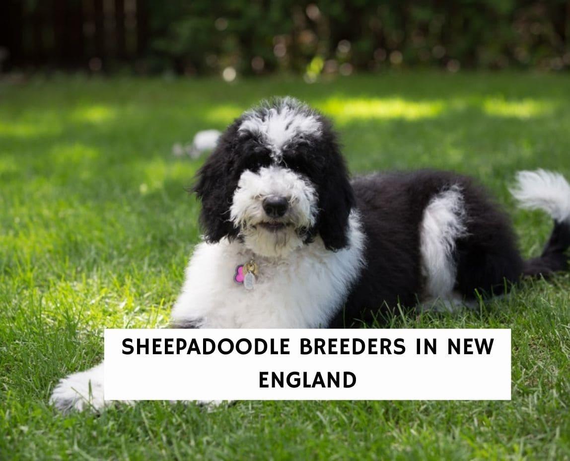 Sheepadoodle Breeders In New England