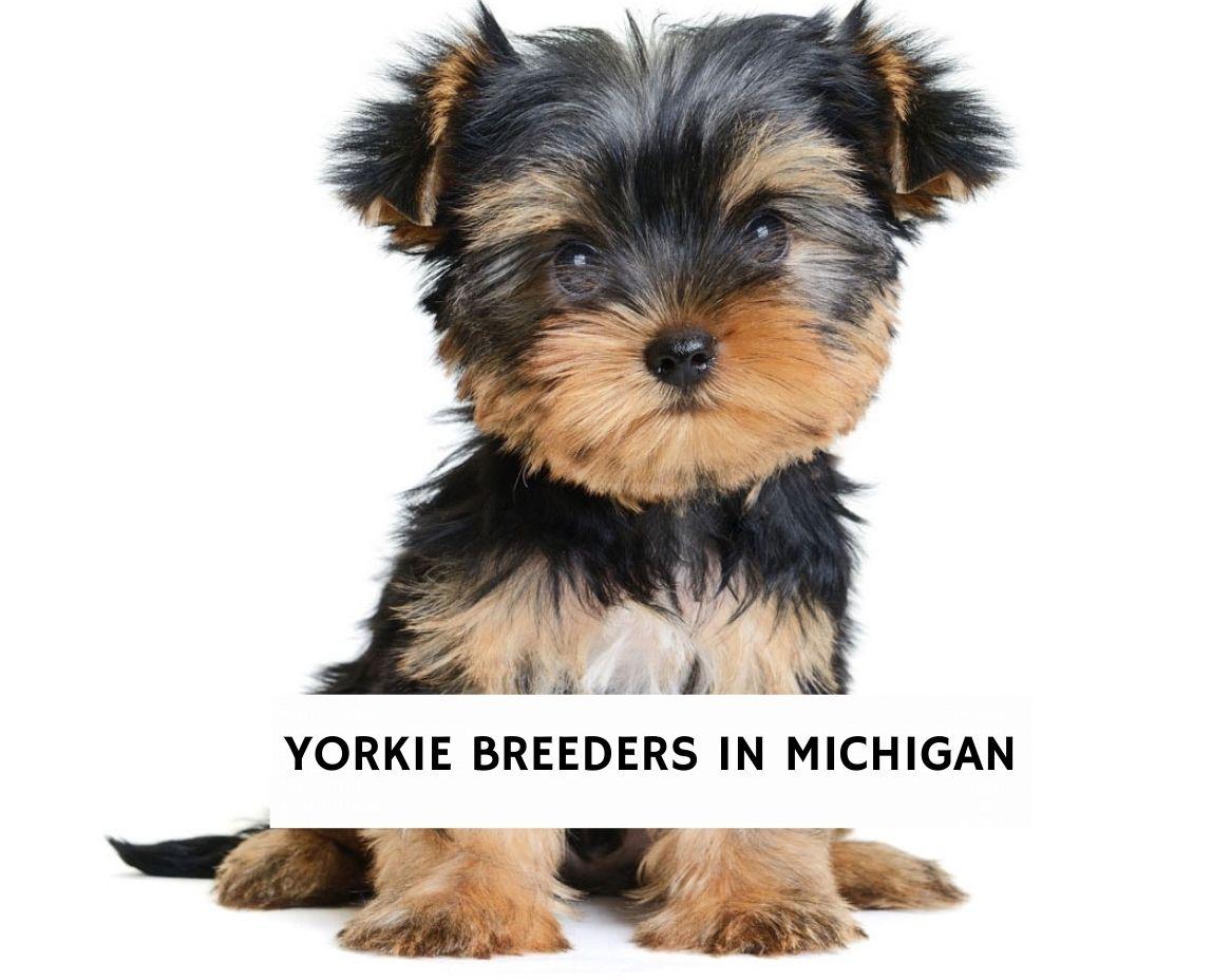 Yorkie Breeders in Michigan