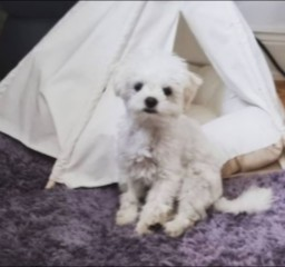 A Quality Maltipoo Breeder in South Carolina Makes a Difference