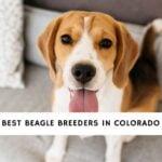 Beagle Breeders in Colorado