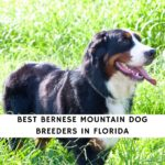 Bernese Mountain Dog Breeders in Florida