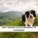 Border Collie Breeders in Colorado