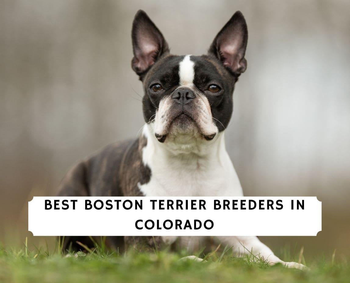 Boston Terrier Breeders in Colorado