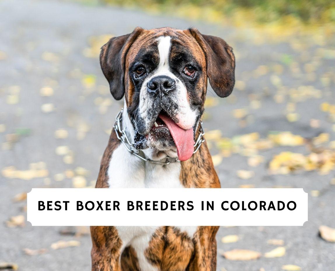 Boxer Breeders in Colorado