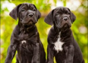 Cane Corso Puppies For Sale in Minnesota