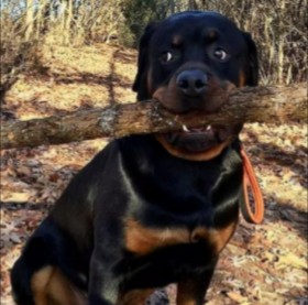Cause of Shedding in Rottweilers
