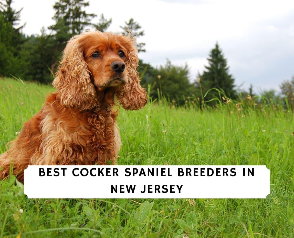 Cocker Spaniel Breeders in New Jersey