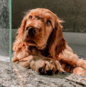 Cocker Spaniel Puppies For Sale in New Jersey