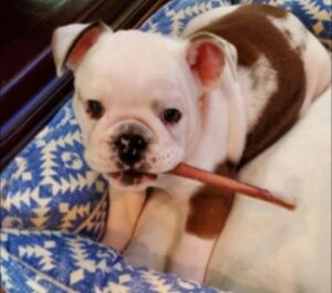 """Conclusion For The """"Best Bulldog Breeders in Minnesota"""""""