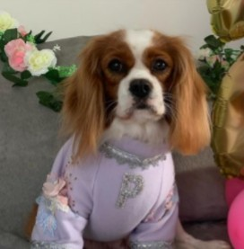Conclusion For The Best Cavalier King Charles Breeders in Florida