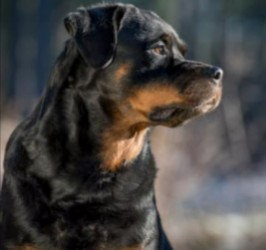 Conclusion For The Best Rottweiler Breeders in Pennsylvania