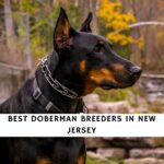 Doberman Breeders in New Jersey