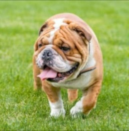 English Bulldog Puppies For Sale in Ohio
