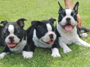 Finding the Best Boston Terrier Breeders in Michigan